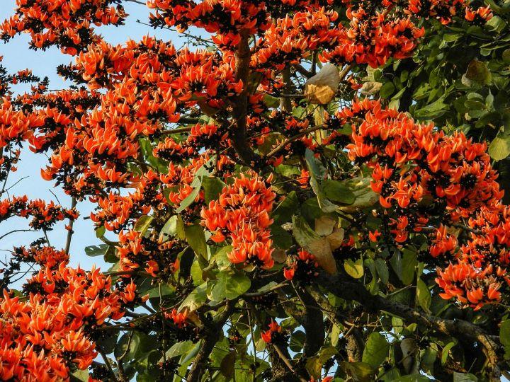 Palash_Tree
